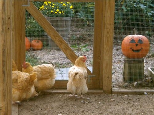 Look who's watching the hens...Happy Halloween!