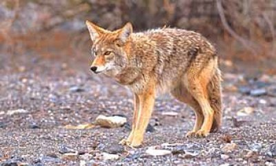 Coyote (pic courtesy of KTL)