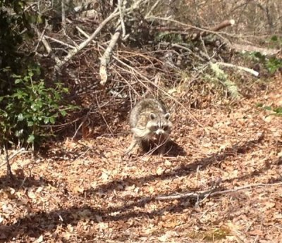 Lone raccoon out foraging during the day.