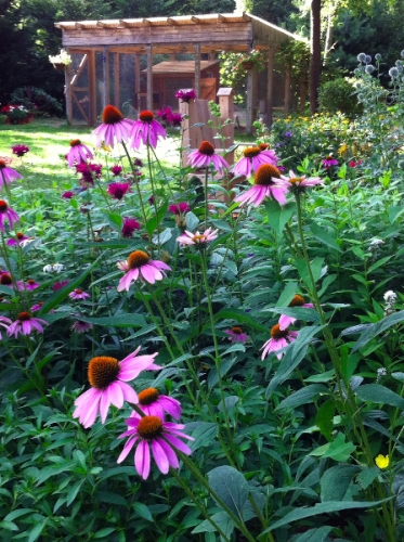 purple-cone-flowers