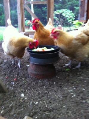 The new three hen flock