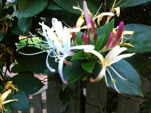 I wished you could smell the honeysuckle!